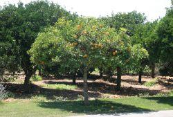 02 Orangenbaum Atzaro
