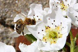 Bienen 01