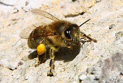 Bienen 02