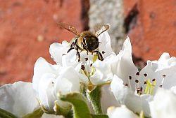 Bienen 03